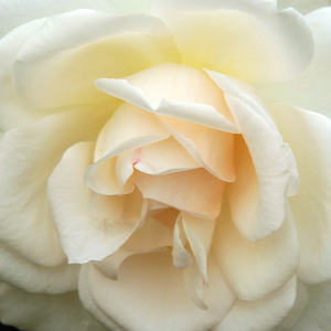 Rose Shop Online - hybrid Tea - white - Grand Mogul - discrete fragrance - Georges Delbard, Andre Chabert - Compact headed, big flowers, good for bed and borders.