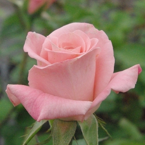 Rosa Bettina '78 - Roze - theehybriden