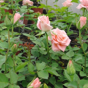 Rosa - Rose Ibridi di Tea