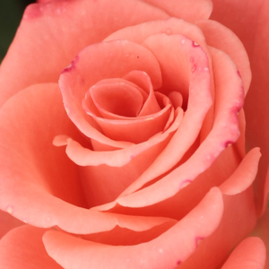Order Roses Online - Bettina '78 - hybrid Tea - pink - discrete fragrance - Alain Meilland - Perfect in bed and border,decorative vivid coloured flowers. Thriving richly.