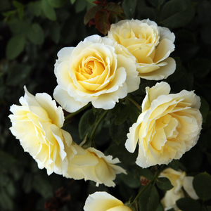 Butter-colour - hybrid Tea