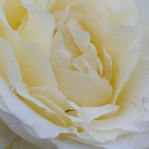 Rose Shopping Online - White - hybrid Tea - discrete fragrance - Iris Honey - - - Compact headed, big flowers, good for bed and borders.