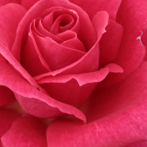 Buy Roses Online - Pink - hybrid Tea - moderately intensive fragrance - Sasad - Márk Gergely - Blooms early, lot of bright coloured flowers.