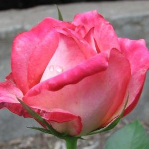 Bianco-Rosa - Rose Ibridi di Tea - Rosa intensamente profumata ...