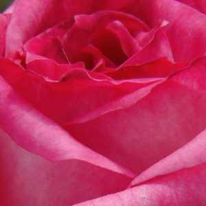 Rose Shopping Online - Cream Colour, Crimson Peak With Yellow Shade - hybrid Tea - intensive fragrance - Kordes' Perfecta® - Reimer Kordes - Vivid coloured, big flowers, durable blooming.