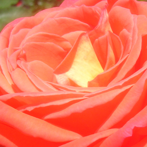 Buy Roses Online - Orange - hybrid Tea - moderately intensive fragrance - Queen of Roses® - Reimer Kordes - Stays fresh in vase for a long time. Healthy type.