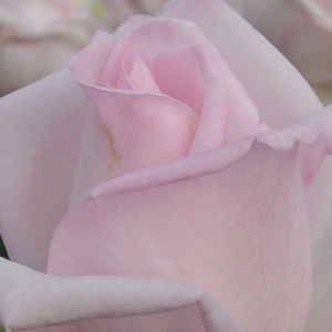 Rose Shop Online - hybrid Tea - pink - Königlicht Hoheit - intensive fragrance - Herb Swim, O. L. Weeks - Perfect for cutting rose, and looks good in beds and borders.