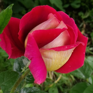 Kronenbourg - red-yellow - hybrid Tea