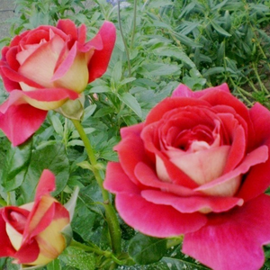 Golden yellow, cherry red petal edges - hybrid Tea