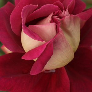 Buy Roses Online - Red-Yellow - hybrid Tea - moderately intensive fragrance - Kronenbourg - Samuel Darragh McGredy IV - Specious, colour-changing flowers.