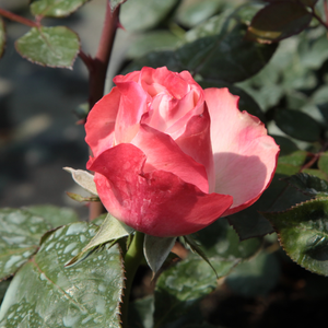 Nostalgie® - white - red - hybrid Tea