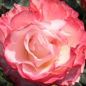 Rose Shopping Online - White - Red - hybrid Tea - intensive fragrance - Nostalgie® - Hans Jürgen Evers - Beautiful rose, planted in groups looks good, lasting blooming.