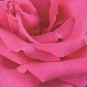 Rose Shopping Online - hybrid Tea - pink - Lancôme - no fragrance - Georges Delbard - Long, strong branches make Lancome to a perfect cutting rose even though it is not aromatic. It can be gathered into clusters in the whole summer.