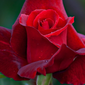 Mister Lincoln - red - hybrid Tea