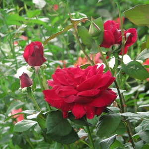 Crimson red - hybrid Tea
