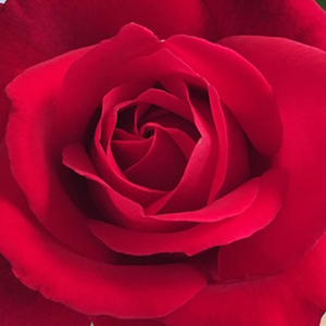 Roses Online Delivery - Red - hybrid Tea - intensive fragrance -  Mister Lincoln - Herb Swim, O. L. Weeks - Periodic blooming, keeps its flowers. Its flowers are plump, sweet-scented and they are good for cutting rose.
