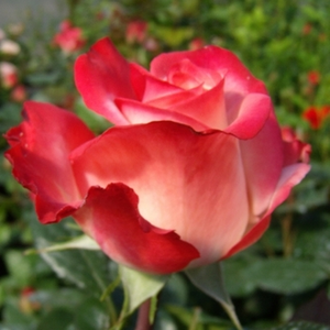 Maxim® - red - white - hybrid Tea