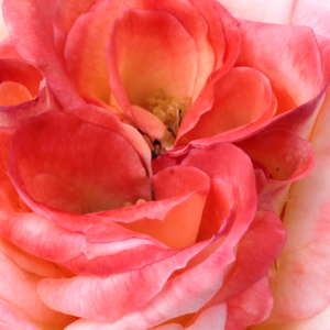 Buy Roses Online - Red - White - hybrid Tea - discrete fragrance - Maxim® - Hans Jürgen Evers - It has discreet fragrance flowers, which are conical in opened stage of blooming.