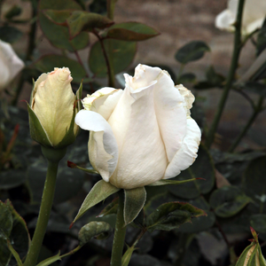 Mount Shasta - white - bed and borders rose - grandiflora - floribunda