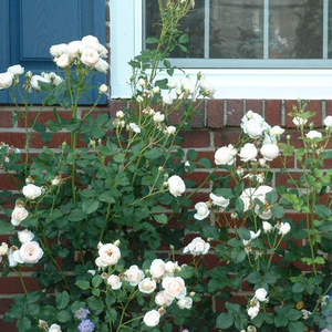 White - bed and borders rose - grandiflora - floribunda
