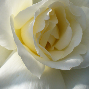 Rose Shopping Online - White - bed and borders rose - grandiflora - floribunda - moderately intensive fragrance - Mount Shasta - Herb Swim, O. L. Weeks - Perfect cut rose
