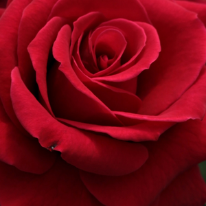 Buy Roses Online - Red - hybrid Tea - discrete fragrance - National Trust - Samuel Darragh McGredy IV - Long time blooming, lasting, perfect bed and border.