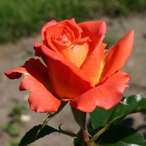 Monica® - orange - hybrid Tea