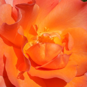 Buy Roses Online - Orange - bed and borders rose - floribunda - moderately intensive fragrance - Courtoisie - Georges Delbard - Fast blooming, beautiful warm coloured flowers,