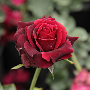 Magia Nera - red - hybrid Tea