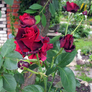 Dark red, black petals in sprout stage - hybrid Tea