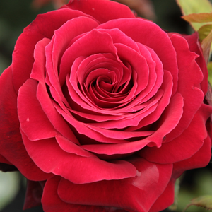 Rose Shop Online - hybrid Tea - red - Magia Nera - discrete fragrance - Maurice Combe - Decorative dark red flowers, looks good in groups. Deep colours, black in the sprout stage, fragrant