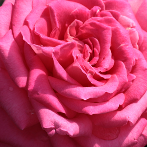 Buy Roses Online - Pink - hybrid Tea - discrete fragrance - Isabel de Ortiz® - Reimer Kordes - Beautiful, decorative vivid colours, large flowers, strong fragrance, perfect cut rose.
