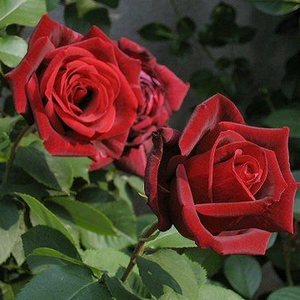 Dark red - hybrid Tea