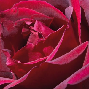 Roses Online Delivery - Red - hybrid Tea - very strong-fragrance -  Meicesar - Alain Meilland - You can feel its fragrance from a long range, perfect cut rose as well.