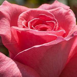 Buy Roses Online - Pink - hybrid Tea - intensive fragrance - Pariser Charme - Mathias Tantau, Jr. - Flowers can reach 3.9' diameter, they bend down because their mass.