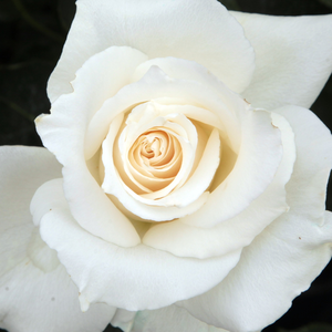 Rose Shop Online - hybrid Tea - white - Pascali® - discrete fragrance - Louis Lens - Perfect for cutting rose, and looks good in beds and borders.