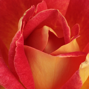 Buy Roses Online - Red-Yellow - hybrid Tea - discrete fragrance - Piccadilly - Samuel Darragh McGredy IV - Tolerates harsh weather.