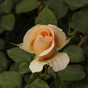 Elegant Beauty® - giallo - Rose Ibridi di Tea