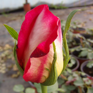 Rebecca® - red-yellow - hybrid Tea