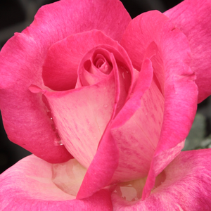 Buy Roses Online - Pink - hybrid Tea - discrete fragrance - Rose Gaujard - Jean-Marie Gaujard - Ideal cut rose, perfect for hedge, edge bed. Robust, healthy, easy growing. Light, fresh, fruity fragrance.