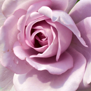 Rose Shopping Online - Purple - hybrid Tea - moderately intensive fragrance - Mainzer Fastnacht® - Mathias Tantau, Jr. - Not the colour and the perfect flower shape is good, perfect fragrance and it blooms to autumn.