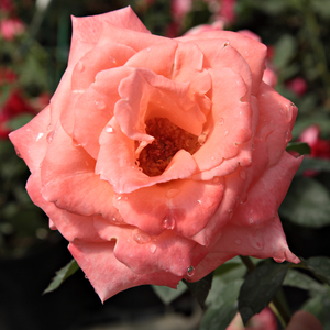 Light pink and white - hybrid Tea