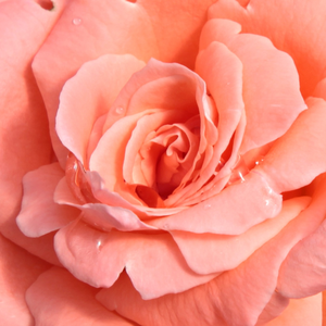 Buy Roses Online - Pink - hybrid Tea - intensive fragrance - Sweet Promise - Marie-Louise (Louisette) Meilland - Bright colours, lot of flowers.