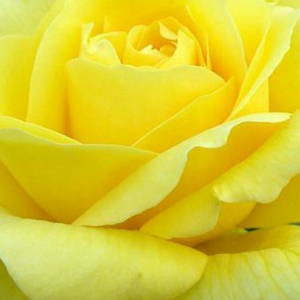 Buy Roses Online - Yellow - hybrid Tea - discrete fragrance - Landora® - Mathias Tantau, Jr. - Its colour will not fade. Perfect lasting cut rose
