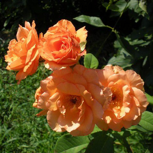 Orange - rosiers hybrides de thé