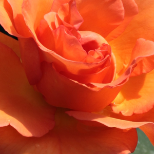 Buy Roses Online - Orange - hybrid Tea - intensive fragrance - Ariel - Bees of Chester - Beautiful, warm coloured, perfect cutting rose.