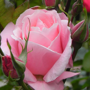 Queen Elizabeth - pink - bed and borders rose - grandiflora - floribunda