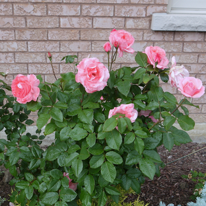 Medium pink - bed and borders rose - grandiflora - floribunda