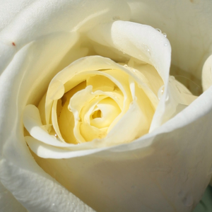 Rose Shopping Online - White - hybrid Tea - moderately intensive fragrance - Varo Iglo - Gysbert Verbeek - Well growing, lasting flowers.
