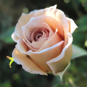 Versilia - yellow - hybrid Tea